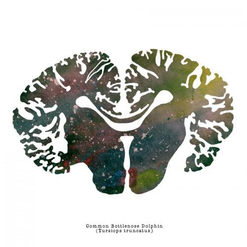 Bottlenose Dolphin Brain
